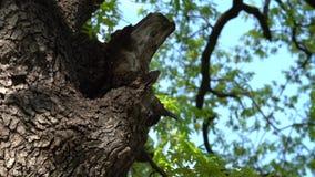 Bijenkorf in boomboomstam - Langzame Motie stock footage