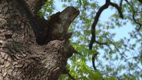 Bijenkorf in boomboomstam - Langzame Motie stock video