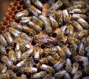 Bijenkorf met bijenkoningin Royalty-vrije Stock Foto's