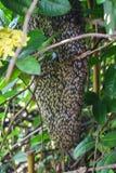 Bijenkorf met menigtebijen Stock Fotografie