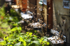 Bijenkorven in een bijenstal met bijen die aan de landende raad in g vliegen stock afbeelding