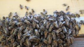 Bijenkorven met bijen in de bijenstal Verzamel honing van de nectar en het stuifmeel van installaties stock video