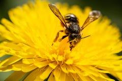 Bijenmacro op een gele bloem royalty-vrije stock afbeelding