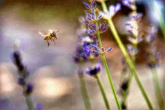 Bijenstuifmeel lavander royalty-vrije stock foto