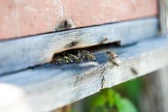 Bijenvlieg aan de bijenkorf Royalty-vrije Stock Afbeelding