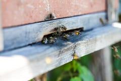 Bijenvlieg aan de bijenkorf Stock Afbeelding