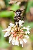 Bijenvlieg aan de bijenkorf Royalty-vrije Stock Foto