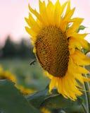 Bijenvlieg aan de zonnebloem Zonnebloemen op het gebied royalty-vrije stock afbeelding