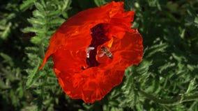 Bijenvliegen aan een grote papaverbloem voor stuifmeel stock footage