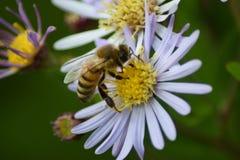 Bijenzitting op bloem Stock Foto