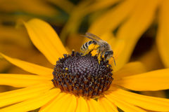 Bijenzitting op gele bloem in close-upmening Royalty-vrije Stock Afbeeldingen