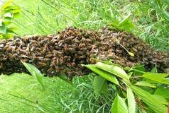 Bijenzwerm die zich bij de tak van een boom verzamelen Royalty-vrije Stock Afbeeldingen
