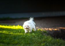 Bijon Frise. Cute dog out for an evening walk in the sunset Royalty Free Stock Photography