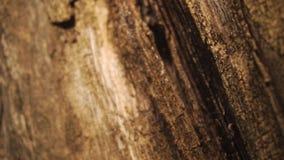 Bijtende deklaag op droog hout stock footage
