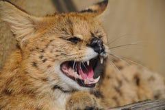 Żbik gniewny Zdjęcie Royalty Free