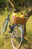 Bike with basket of apples. Wicker basket full of apples. Basket of apples standing on the trunk of a bicycle Royalty Free Stock Images