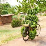 Bike without driver? Bike loaded upwards with many bunches of green ripe cooking bananas, plantains, Uganda, Africa.