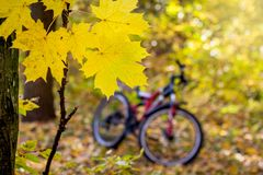 A bike in the forest among yellow maple leaves in the autumn_. A bike in the forest among yellow maple leaves in the autumn royalty free stock photos