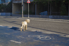 Bike Lane. The dog stands on the roadway Royalty Free Stock Photos
