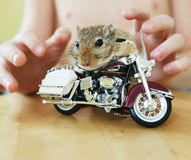 Bike Riding Rodent. A gerbil sitting on a motorcycle bike royalty free stock photography