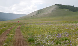 Bike Touring in Northern Mongolia. A bike tourer rides past the flower filled pastures in northern Mongolia Stock Image