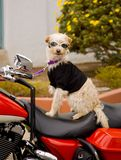 Biker dog. Scruffy white terrier riding on a red touring style motorcycle. Wearing goggles and a black t-shirt royalty free stock photo