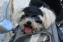 Biker Dog. Small dog on a motor bike,looking comical,wearing cap and goggles Stock Photo