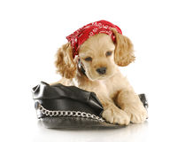 Biker puppy Stock Photography