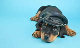 Biker Puppy Stock Images