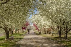 Blooming crab apple trees lining bike path Stock Images