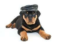 Biker Rottweiler Puppy. Funny little Rottweiler puppy wearing a biker hat laying on a white background Royalty Free Stock Image