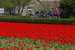 Bikers passing a field with red tulips. Noordwijkerhout, Netherlands royalty free stock images