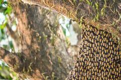 Bikupa av lösa asiatiska honungbin på träd fotografering för bildbyråer