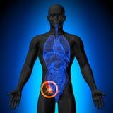 Bilaga - manlig anatomi av mänskliga organ - röntgenstrålesikt stock illustrationer