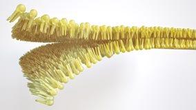 Bilayer humano do lipido - rendição 3D ilustração do vetor