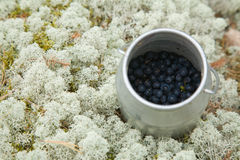 Bilberries Stock Image