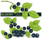 Bilberries (blueberries) with leaves. Royalty Free Stock Image