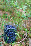 Bilberries in the jar Stock Photography