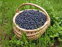 Bilberries in wicker Stock Photo