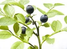 Bilberry. On light Royalty Free Stock Images