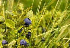 Bilberry. Ripe bilberry on the  branches in the grass Royalty Free Stock Images