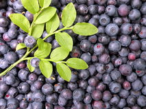 Bilberry. Fresh wild bilberry pick at the forest Stock Photos