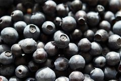 Bilberry Background. Fresh wild Bilberries close up. Can be used as background Royalty Free Stock Photo