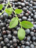 Bilberry berries Stock Photo