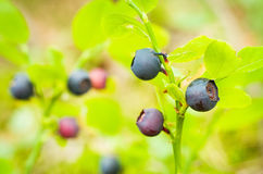Bilberry berries Royalty Free Stock Photo