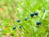 Bilberry berries Stock Image