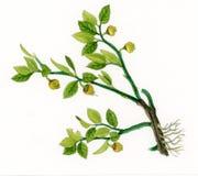 Bilberry or Blue Whortleberry (Vaccinum myrtillus) Stock Photos