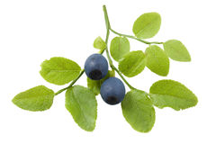 Bilberry branch Royalty Free Stock Photography