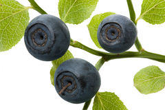 Bilberry branch Royalty Free Stock Photos