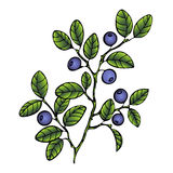 Bilberry. Branch blueberry leaves and berries. Forest painted berry, cartoon. Vector illustration Stock Image